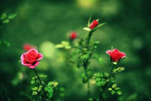 Red Roses II by John77