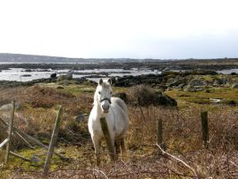 Connemara Pony Ireland by Jenvanw