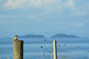 Kingfisher On Fence 5 by idyle