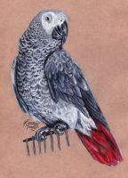 Alex the African Grey by KristynJanelle