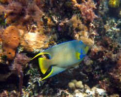 Fish - Queen Angelfish 2 by Lauren-Lee