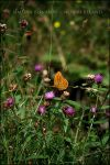 Butterfly by FataCorvina