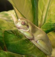 White's tree frog by Son-of-Italy