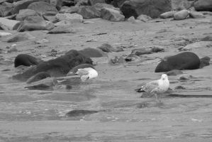 Standing Seagulls, Stare and Preen 2 by Miss-Tbones
