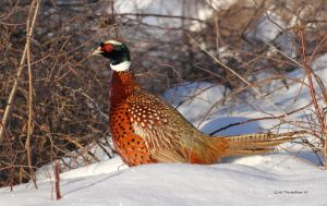 Winter Morning Pheasant by natureguy