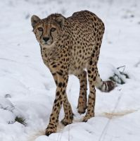 Cheetah 02 by LydiardWildlife