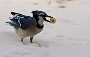 Just a Nutty Jay by ericthom57