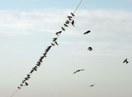 Swallows by valsomir