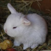 Teddy dwarf lop 2 weeks old 2 by bluediabolo