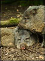 Collared Peccary by Somebody-Somewhere