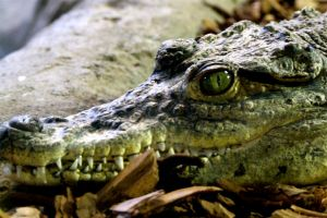 I see you... crocodile01 by furiousbullet