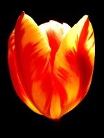 TULIP FOR RUTH by Dieffi