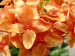 orange ixora by plainordinary1