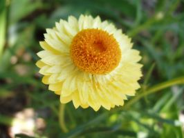 Paper Daisy by alexisw