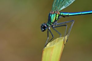 damselfly natural light 2009 by macrojunkie