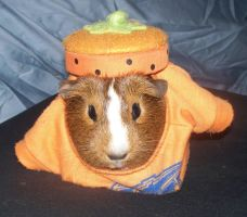 My Guinea Pig, Hana, Dressed as a Pumpkin by Sweetgirl333