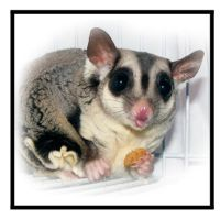 Cheeky Sugar Glider by imthinkingoutloud