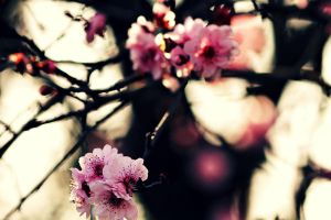 pink blossoms by karcher-photography