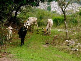 Mexican Cattle by MiniMini24