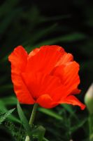 2011 Poppy 3 by Tyyourshoes