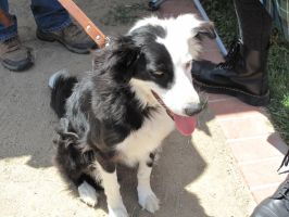 border collie 3 by Jupiter-Foxclaw