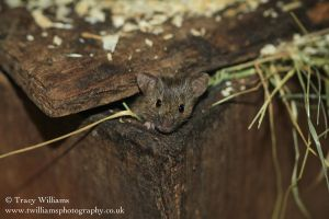 House Mouse Peek A Boo by twilliamsphotography