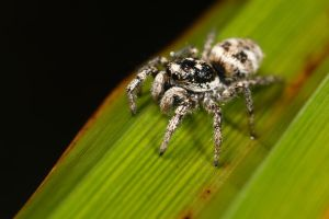 1st jumping spider 2009 by macrojunkie