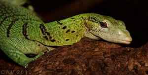 Mischievous Monitor lizard by CamStatic