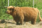 Highland cattle by Sia-the-Mawile