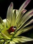Ladybird by MadRed