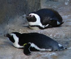 Penguins at the Zoo 2 by FantasyStock