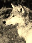 Brother Wolf by I-Heart-Photos