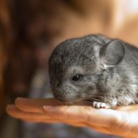Baby Chinchilla by armene