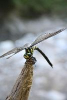 Dragonfly by LolyBoo