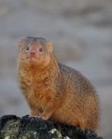Mongoose by Wild-Soul