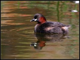 Little Grebe by cycoze