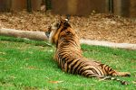 23 Tiger lying down by Chunga-Stock