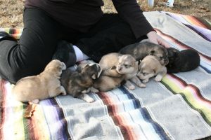 Ten Day Old Wolf-Dog Cubs by greensh