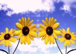 Sunflowers by FlabnBone