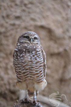 Little Burrowing Owl stare by TaksArtPhotos