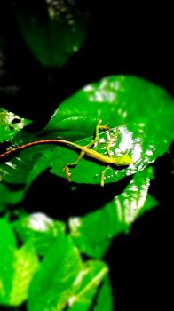 Bronchoclea jubata (Maned Forest Lizard) Juvenile by AnotherRaven