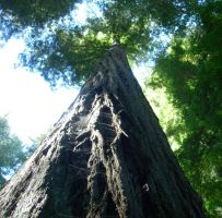 Redwoods by Isis089