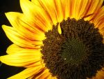 Sunflower by Chrissice