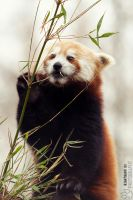 Bamboo Queen. by Ravenith