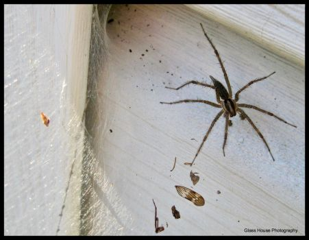 Grass Spider by GlassHouse-1