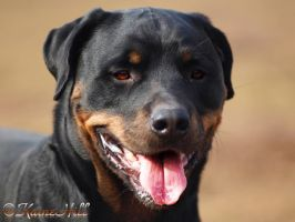 Vicious Rottweiler aka. Gentle Giant by KaineHillPhotography