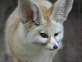 Fennec Fox - Closeup by dtf-stock