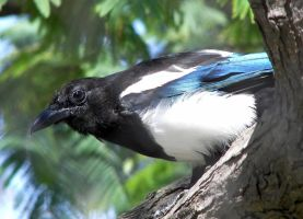 Black-Billed Magpie by Ciameth