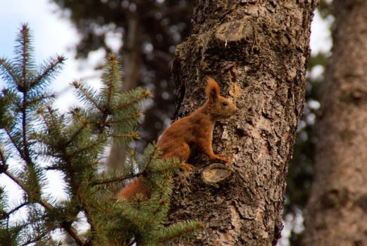 Squirrel on the tree by Krzysiek-M