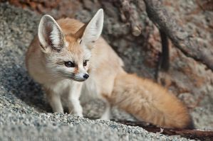 Fennec Fox by robbobert
